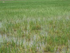 Deltebre rice 2