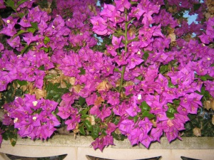 Purple bourgonvilla