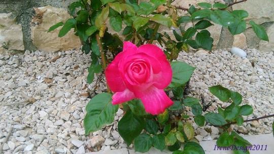 Pink rose 5