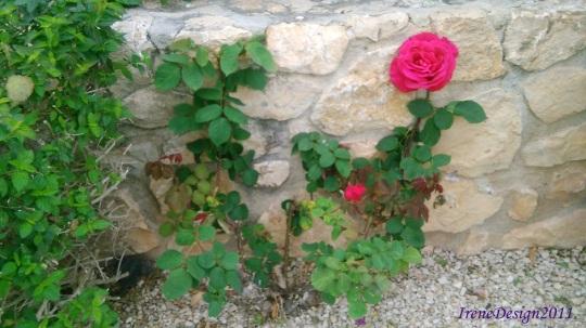 Pink rose 8