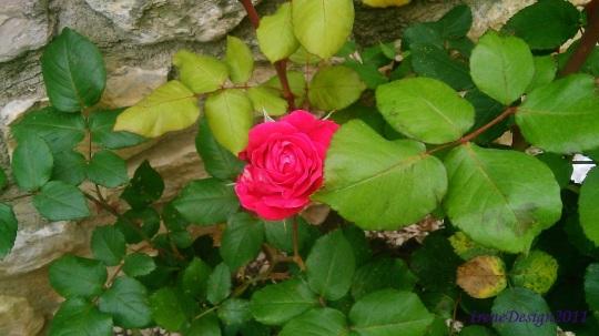 Pink rose 9
