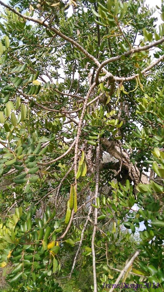 Carob tree 1