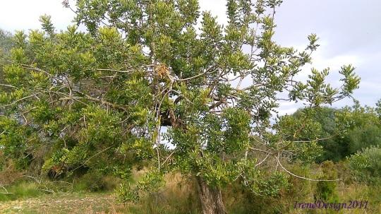 Carob tree 2