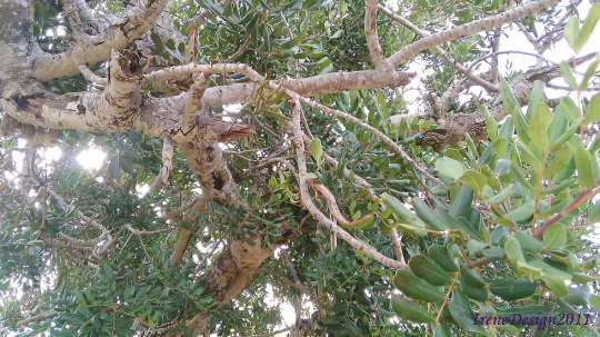 Carob tree 3