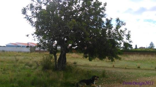 Carob tree 4