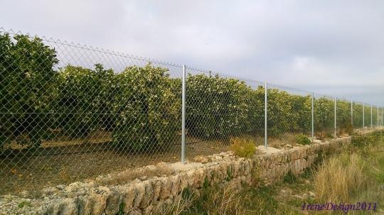 Orange trees 1