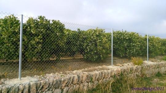 Orange trees 2