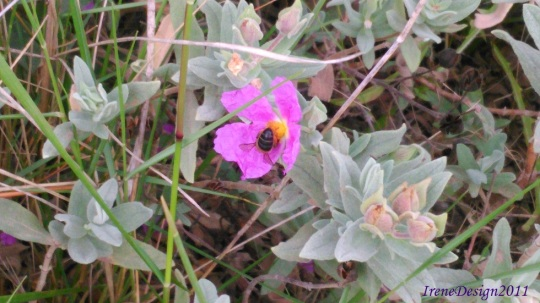 Pink flower and bee 1