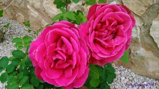 Rose 05