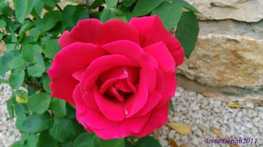 Rose 08