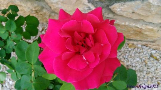 Rose 09