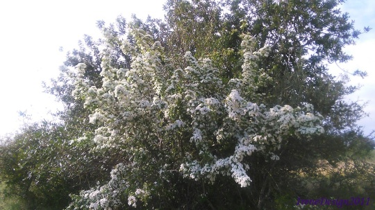 Tree white flowers 2