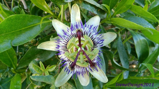 Passionflower 02
