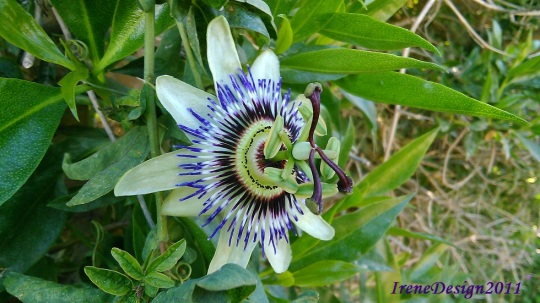 Passionflower 03