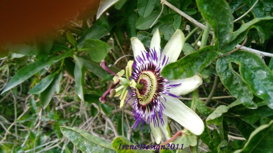Passionflower 06