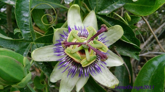 Passionflower 09