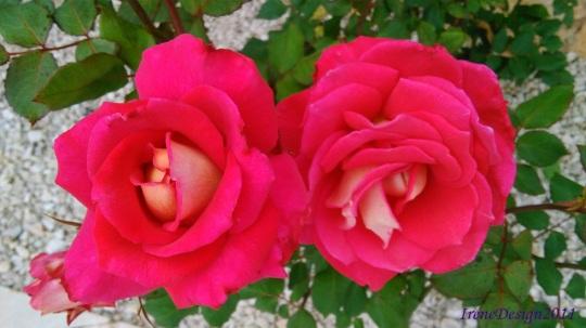 Rose 20