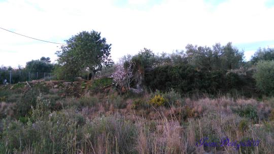 almond-tree-1