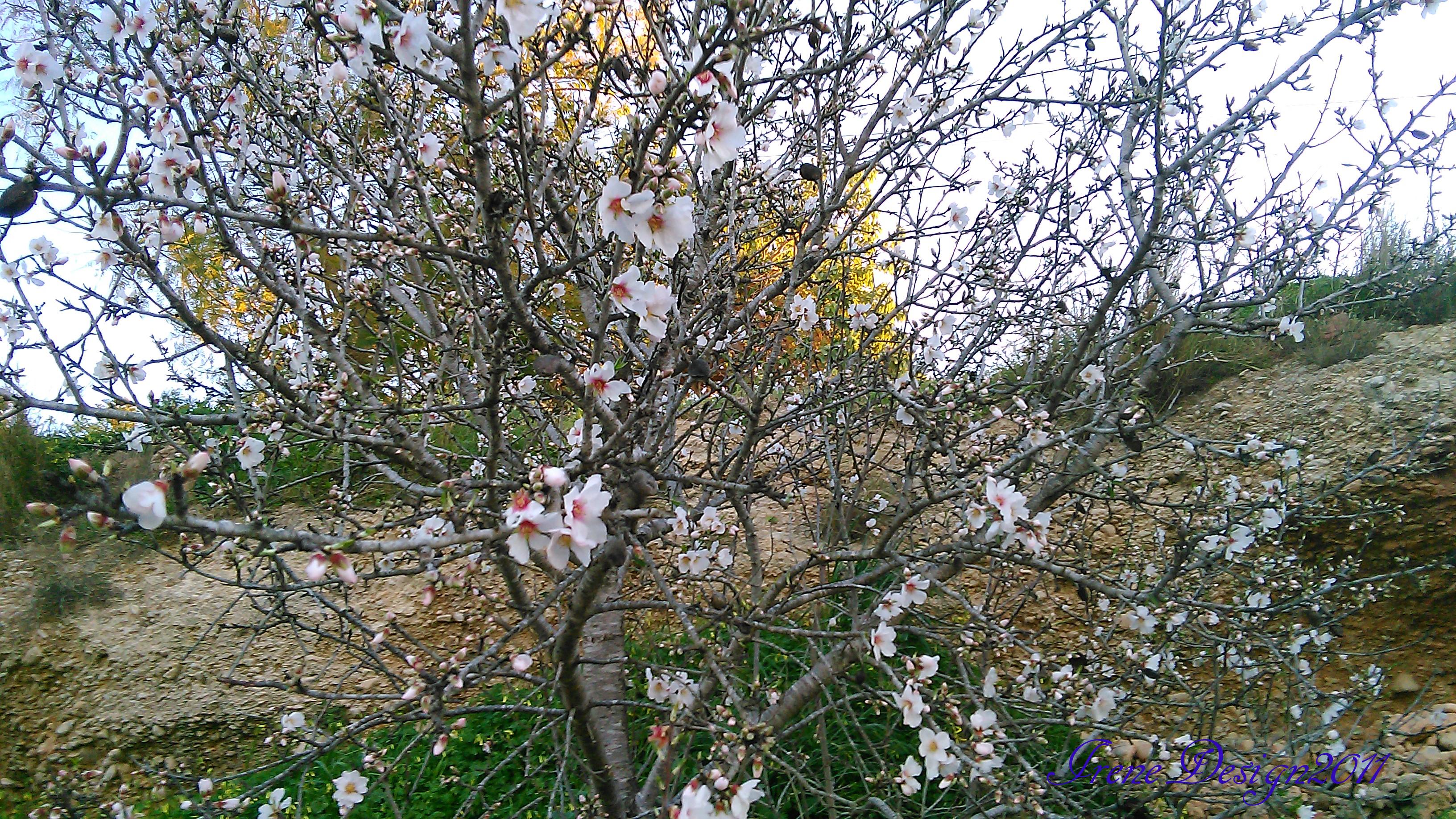 almond-tree-2