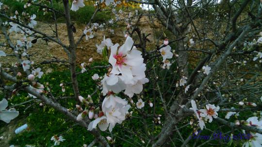 almond-tree-3