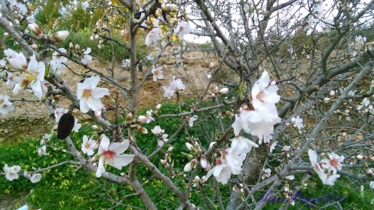 almond-tree-4