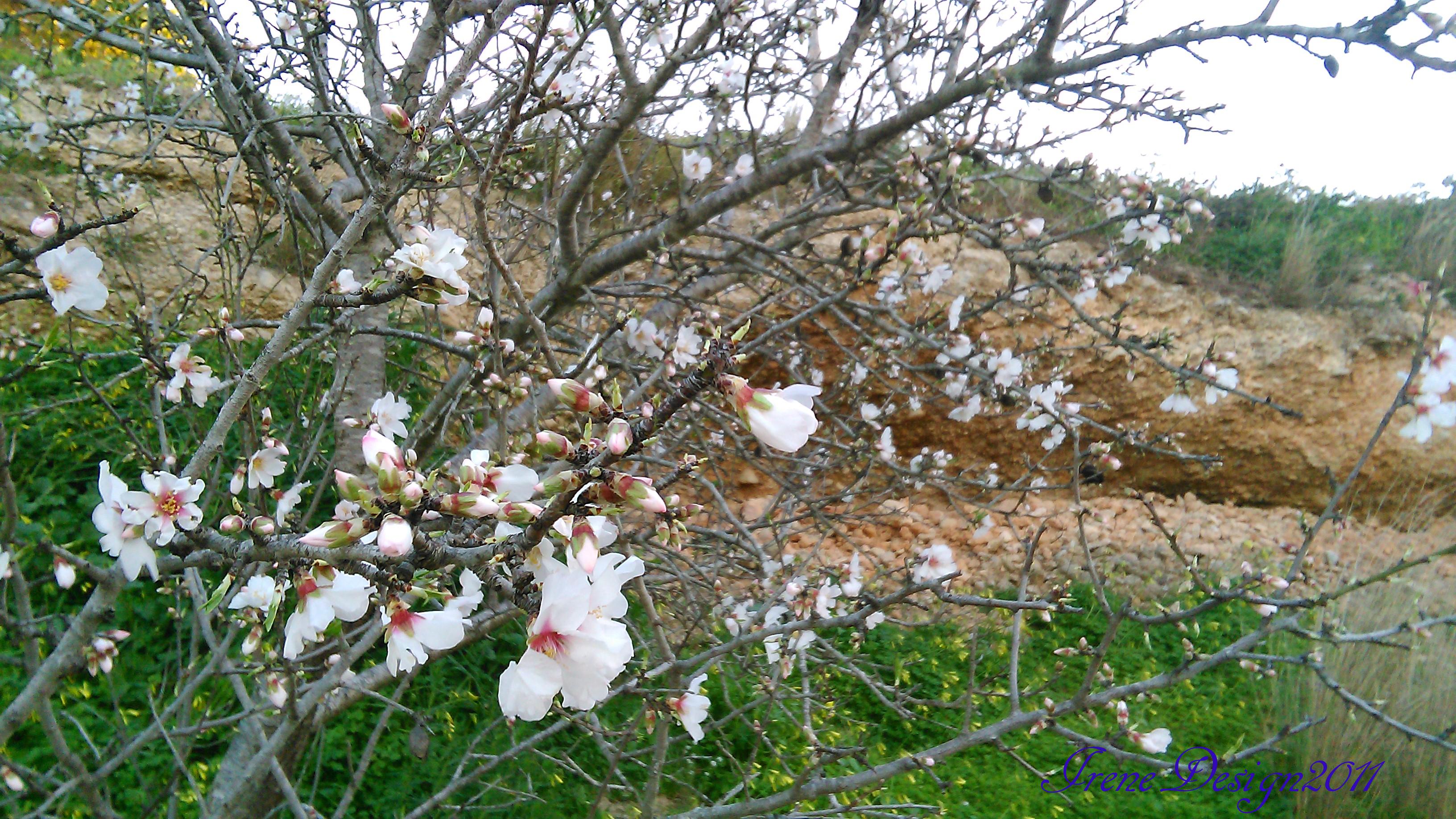 almond-tree-5