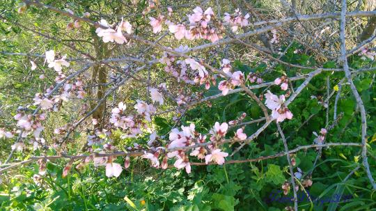 almond-tree-6