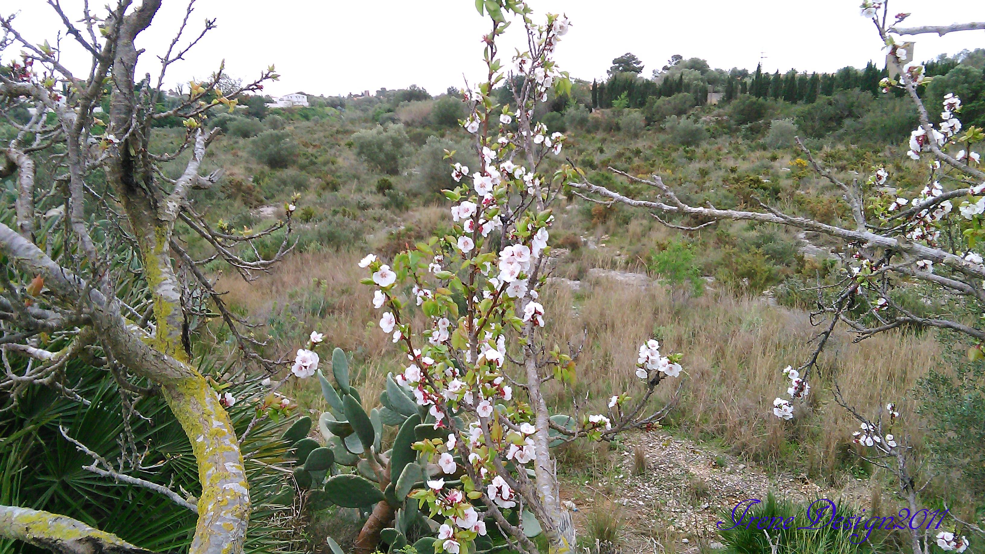 Almond tree 1