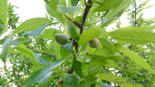 Almond tree 3